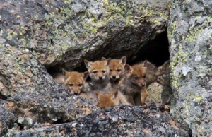 Coyote puppies - waiting for mom to bring home dinner?