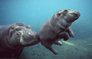 A hippo mom helps her calf do...something.  Baby hippos are born underwater - maybe this little calf is heading towards open air for the first time?